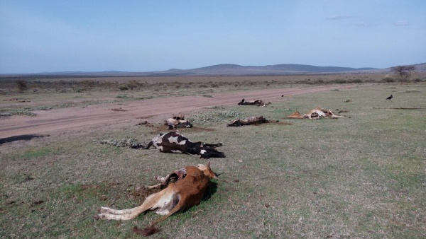 Livestock throughout Tanzania is dying as a result of the drought.
