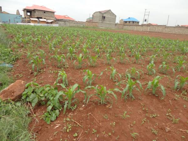 Crops growing - Kenya