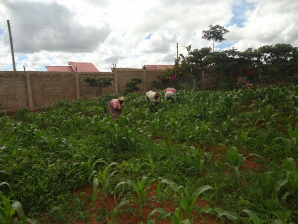 Tending crops - Kenya