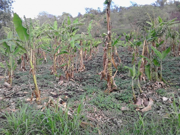 The Spiritans\' banana crop is usually bountiful but in the past year has only produced a fraction of the typical yield.