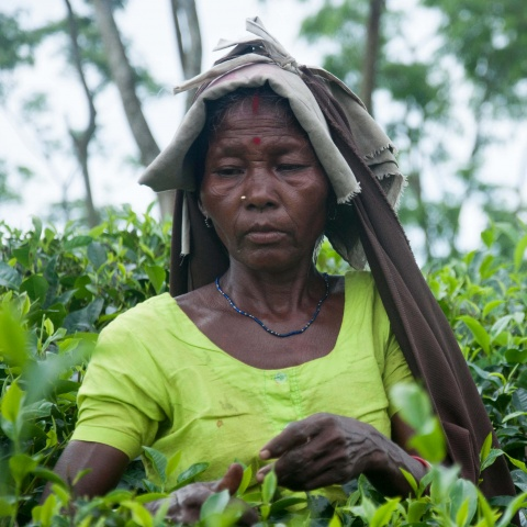 Bangladesh - 75% of tea laborers are women