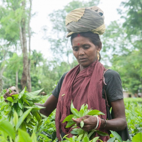 Bangladesh - tea laborers only earn $1 USD per day