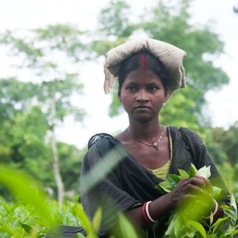 Bangladesh - Tea laborers are among the most deprived groups of people in South Asia, with little to no rights, benefits, or access to healthcare and clean water
